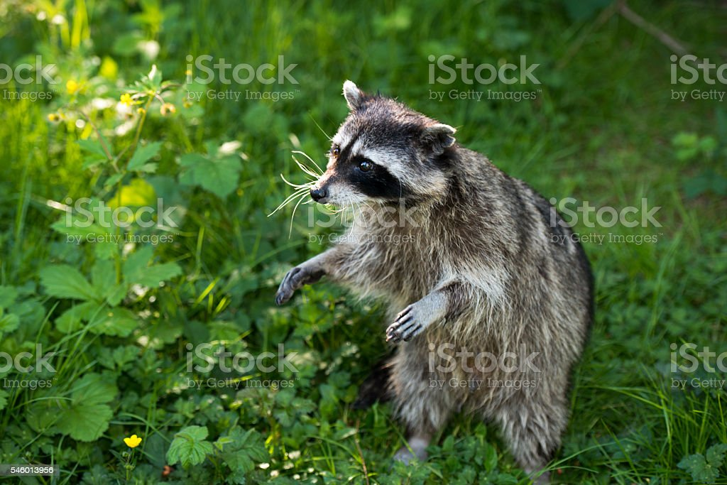 Racoon in the field standing stock photo