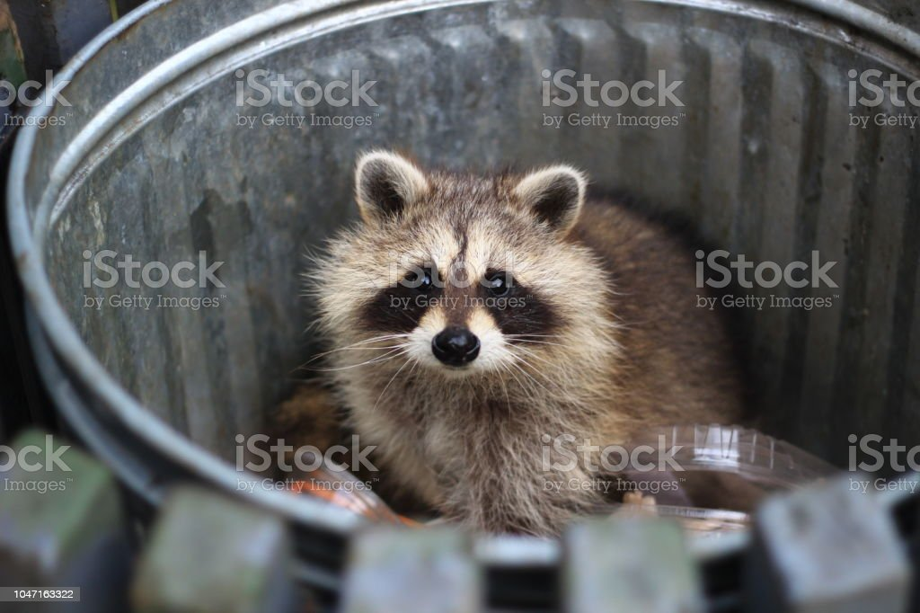 Racoon in the trash - Foto stock royalty-free di Animale