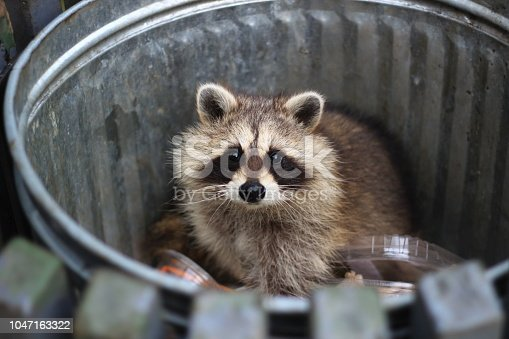 raccoon in a trash can