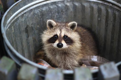 Racoon In The Trash - Fotografie stock e altre immagini di Animale