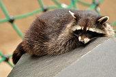 naughty raccoon when dozing, portrait