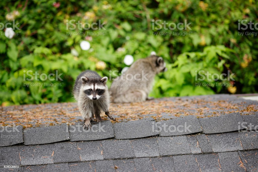 Racoon – Foto