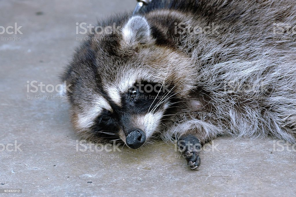 racoon royalty-free stock photo