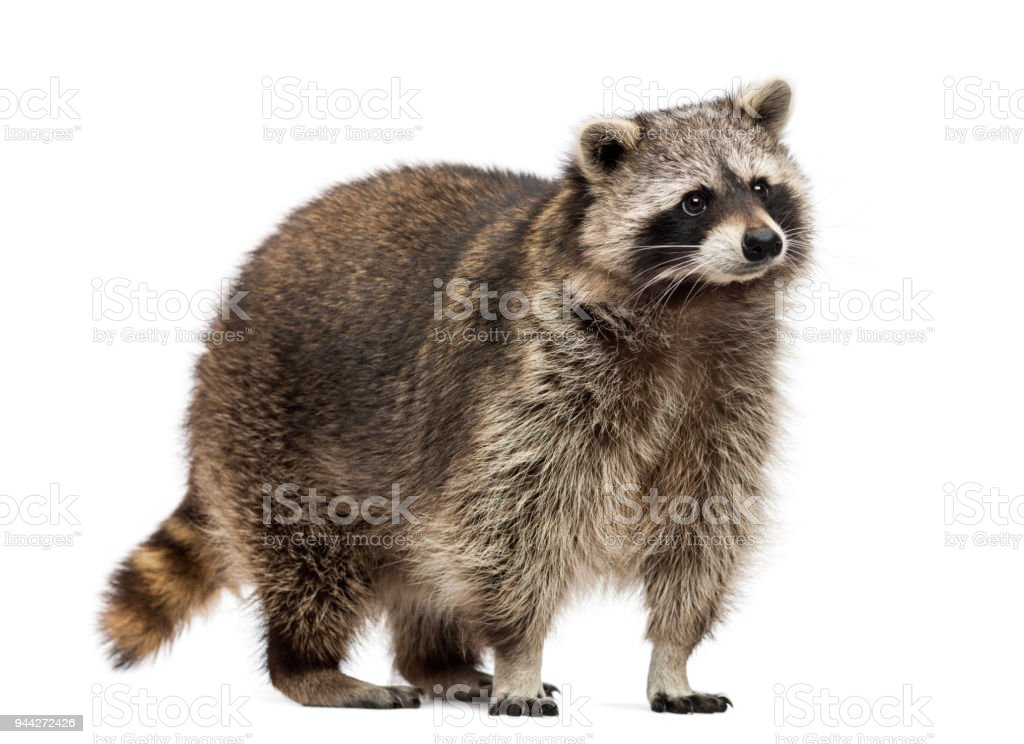 Racoon, Procyon Iotor, standing, isolated on white stock photo