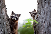 A family of raccoons in a tree.