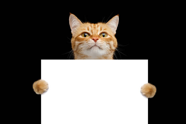 Rad cat holding a blank sign isolated on black background picture id1219741272?b=1&k=6&m=1219741272&s=612x612&w=0&h=1ugiu8ueyzumm et3f8mkues2xofqyrrbuuwqhttyee=