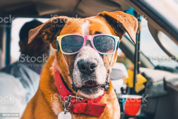 Rad dog with sunglasses in pickup truck picture id940923438?b=1&k=6&m=940923438&s=612x612&h=u6  4zlysjq8fqy8y242hr3olqpke7zicdhtdrtaahe=