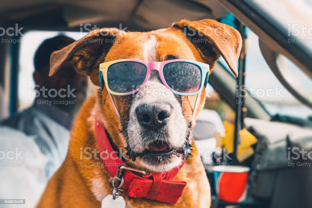 Rad Dog with Sunglasses in Pick-up Truck stock photo
