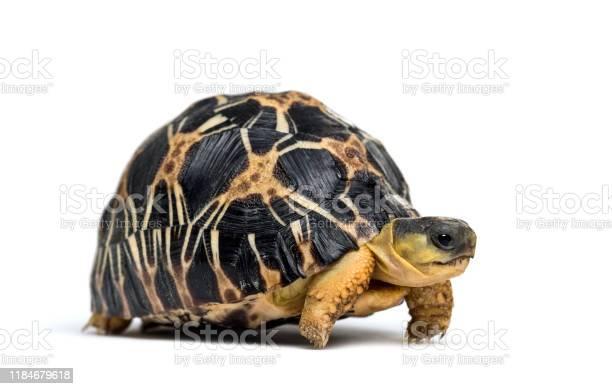 Radiated tortoise astrochelys radiata in front of white background picture id1184679618?b=1&k=6&m=1184679618&s=612x612&h=d93wgatvu1tritm mmerzk2tw6jpoqyuhmkcopt7upy=