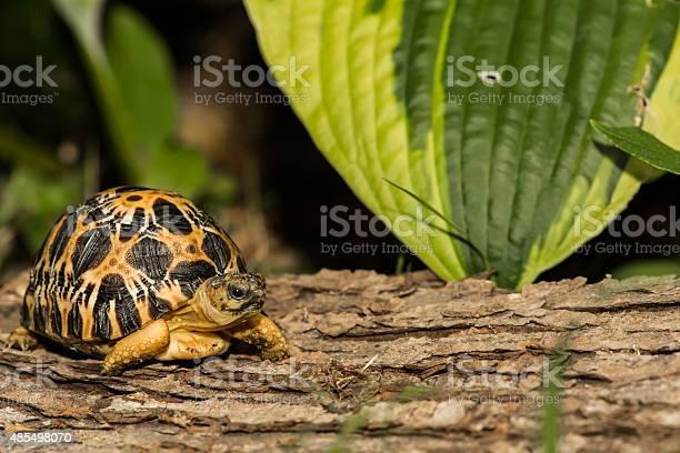 Radiated tortoise picture id485498070?b=1&k=6&m=485498070&s=612x612&h=sqp3gl9grfvg1quvbmte4pgsw4494qhxyjgpfwwcgeo=