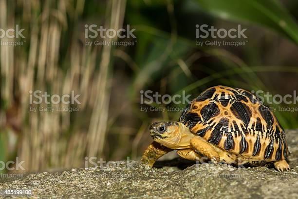 Radiated tortoise picture id485499100?b=1&k=6&m=485499100&s=612x612&h=mdhfizkm0kkufjtg2xpcjkbbzotttyajbqu7qgbyv0y=