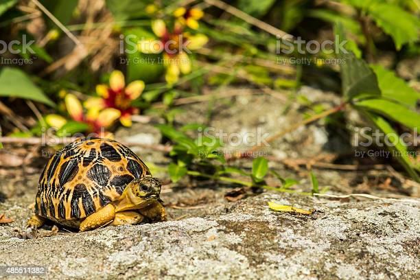 Radiated tortoise picture id485511382?b=1&k=6&m=485511382&s=612x612&h=wd2epstnkrzwsnkauao0b03kcb2ytq09ld pnyylsuc=