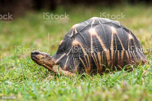 Radiated tortoise picture id879151164?b=1&k=6&m=879151164&s=612x612&h=3qa txcjr4yl5f ylypkqyu439hvpqo6iq95acv6nsc=