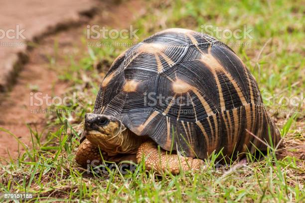 Radiated tortoise picture id879151188?b=1&k=6&m=879151188&s=612x612&h=knkdp8toejt1zbpeggur3fbyrqzttouxabpjlwevg3m=