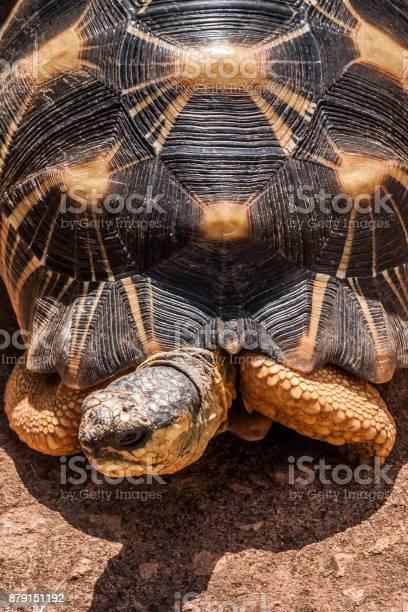 Radiated tortoise picture id879151192?b=1&k=6&m=879151192&s=612x612&h=5kywuhmc2ksv8jmsyzlfzxrvqdmbwbrk3kledqqiwmi=