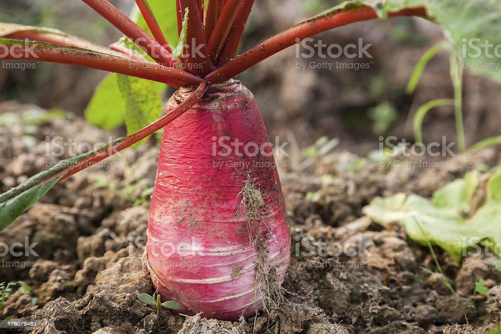 radish in the garden stock photo