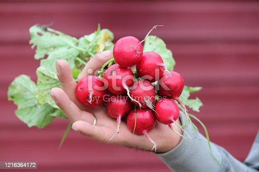 Man hand holding big red radish. Gardening photo.