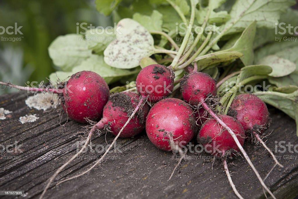 radish royalty-free stock photo