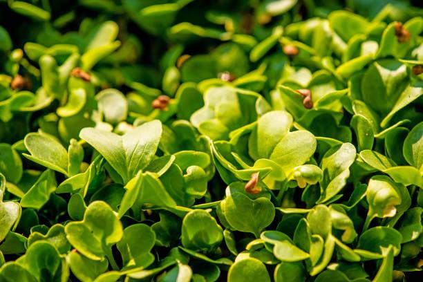 radish sprouts, micro greens in a closeup stock photo
