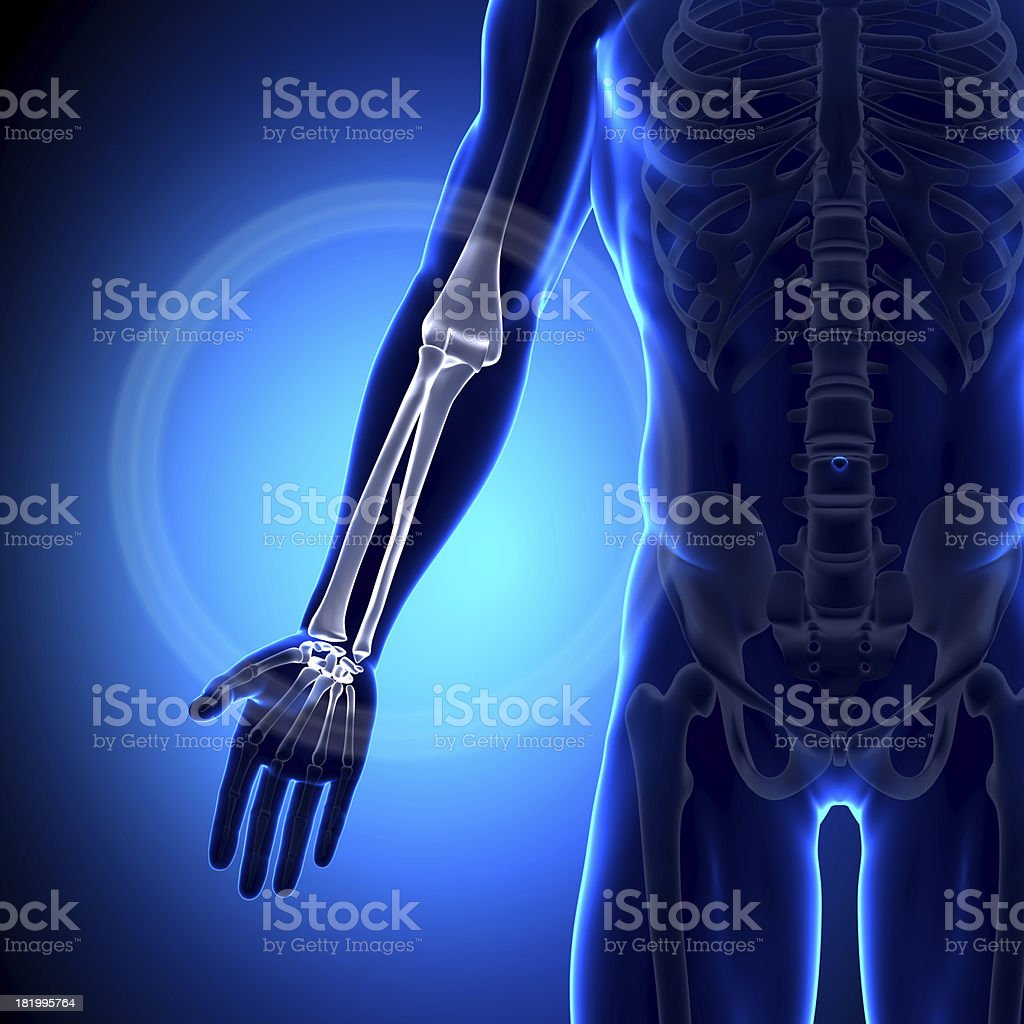 Radius Ulna - Anatomy Bones stock photo