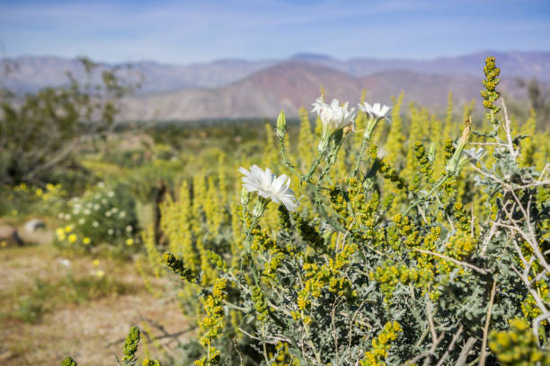 12 New Mexico State Flower Stock Photos Pictures Royalty Free Images Istock