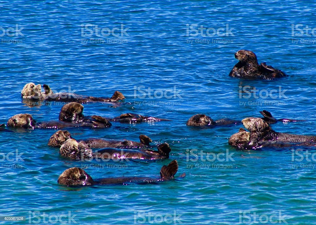 Raft of Otters stock photo