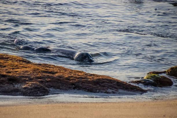 floß von seelöwen, die bei sonnenuntergang auf dem la jolla beach in san diego, kalifornien, schwimmen - haar zitate stock-fotos und bilder