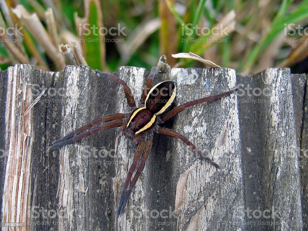 Raft Spider stock photo