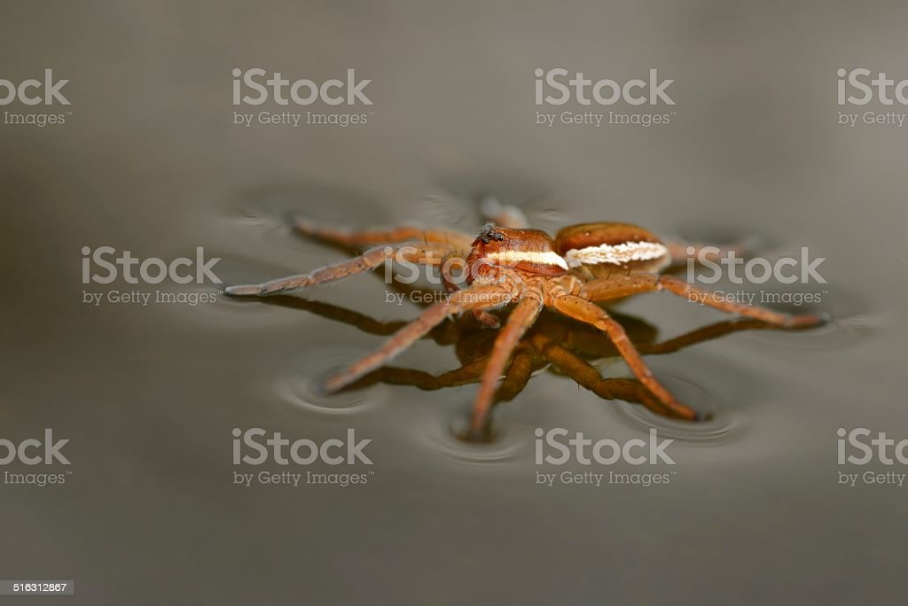 Raft Spider(Dolomedes fimbriatus) side view stock photo