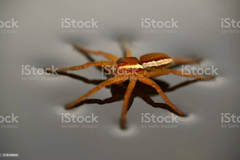 Raft Spider side view stock photo