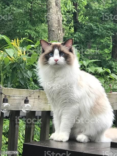 Rag doll cat picture id1143227506?b=1&k=6&m=1143227506&s=612x612&h=8stx9kp40ewcvlg1uwy7zjbjicxananue6ev3axukv4=