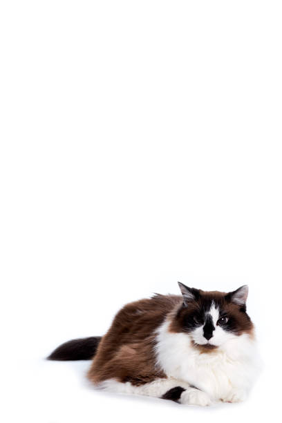 Ragamuffin Cat Laying and Looking to Off Camera stock photo