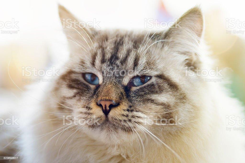 Ragamuffin cat stock photo