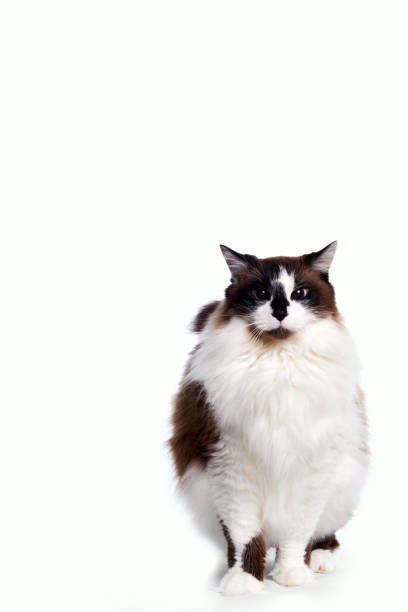 Ragamuffin Cat Standing and Looking at the Camera stock photo