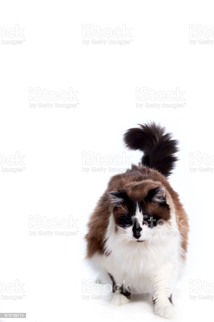 Ragamuffin Cat Standing and Looking Down stock photo