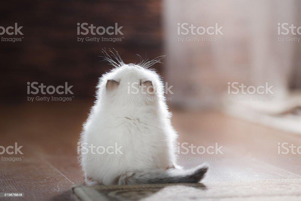 Ragdoll blue point kitten stock photo