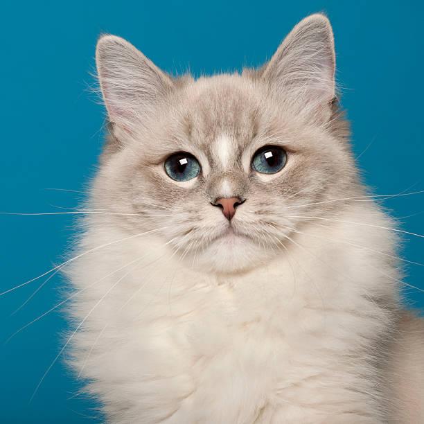 Ragdoll cat 1 year old in front of blue background picture id136522831?b=1&k=6&m=136522831&s=612x612&w=0&h=hsk8zm5rty51fibj1sn5rv ewkku03 tgumzq bnzbo=