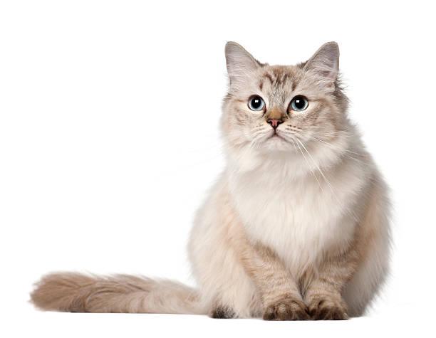 Ragdoll cat 10 months old sitting picture id510699104?b=1&k=6&m=510699104&s=612x612&w=0&h=yfuvwducgcrypy d4fqm 2vrouy6plv4piiml8o9du8=