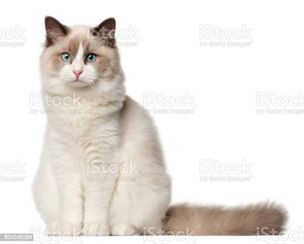 Ragdoll cat 6 months old sitting in front of white background picture id824245288?b=1&k=6&m=824245288&s=612x612&h=ea4rtltjeysyk6z2qkamspbfz9ed4md8hoxt knjeuc=