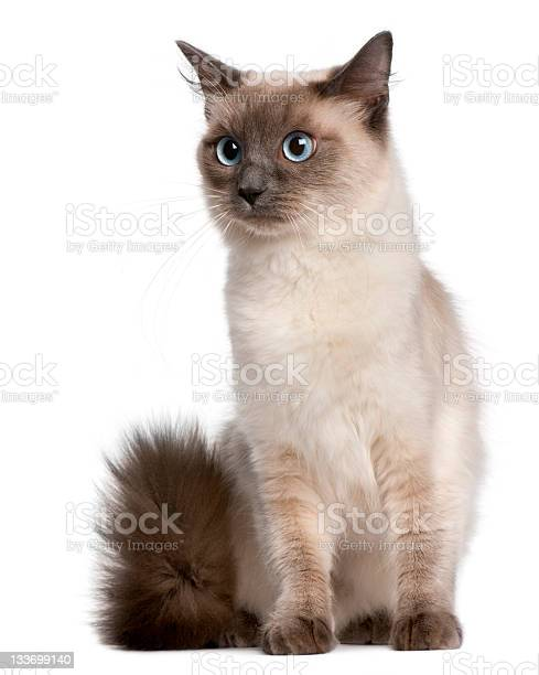 Ragdoll cat fifteen months old sitting white background picture id133699140?b=1&k=6&m=133699140&s=612x612&h=bwmsqwogf8v x sa  mt5rxgbnkgfi6pnn6zoljozuq=