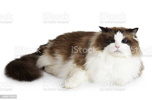 Ragdoll cat in front of a white background picture id459979035?b=1&k=6&m=459979035&s=612x612&h=uc7ttfvlbgxex33a8uucmjyg6 qfbs4ae44qiizc0me=