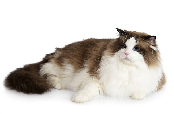 Ragdoll cat in front of a white background picture id460022933?b=1&k=6&m=460022933&s=612x612&w=0&h=mc6pgfdrihxfv8ng2kmkq0m3czt orug6fnpeueooz8=