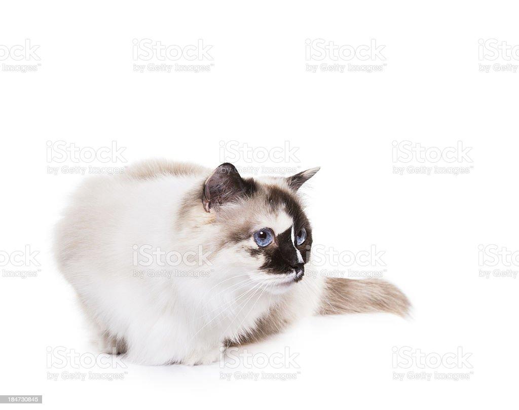Ragdoll Cat on white royalty-free stock photo