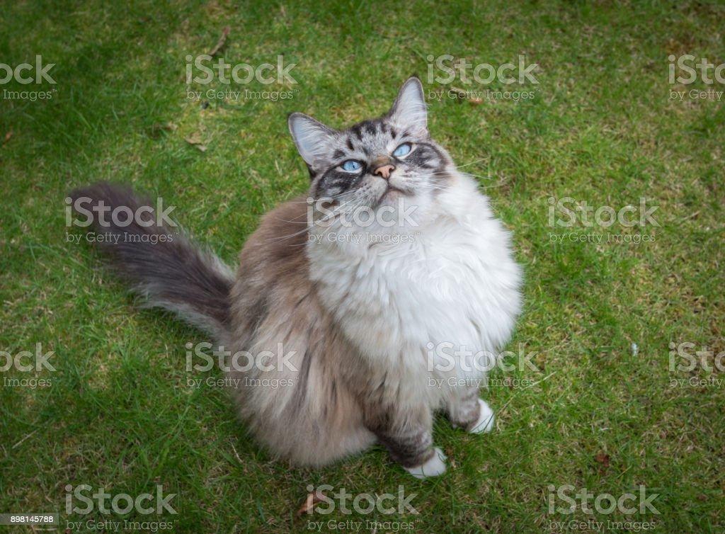 Ragdoll Cat Outdoor Portrait stock photo
