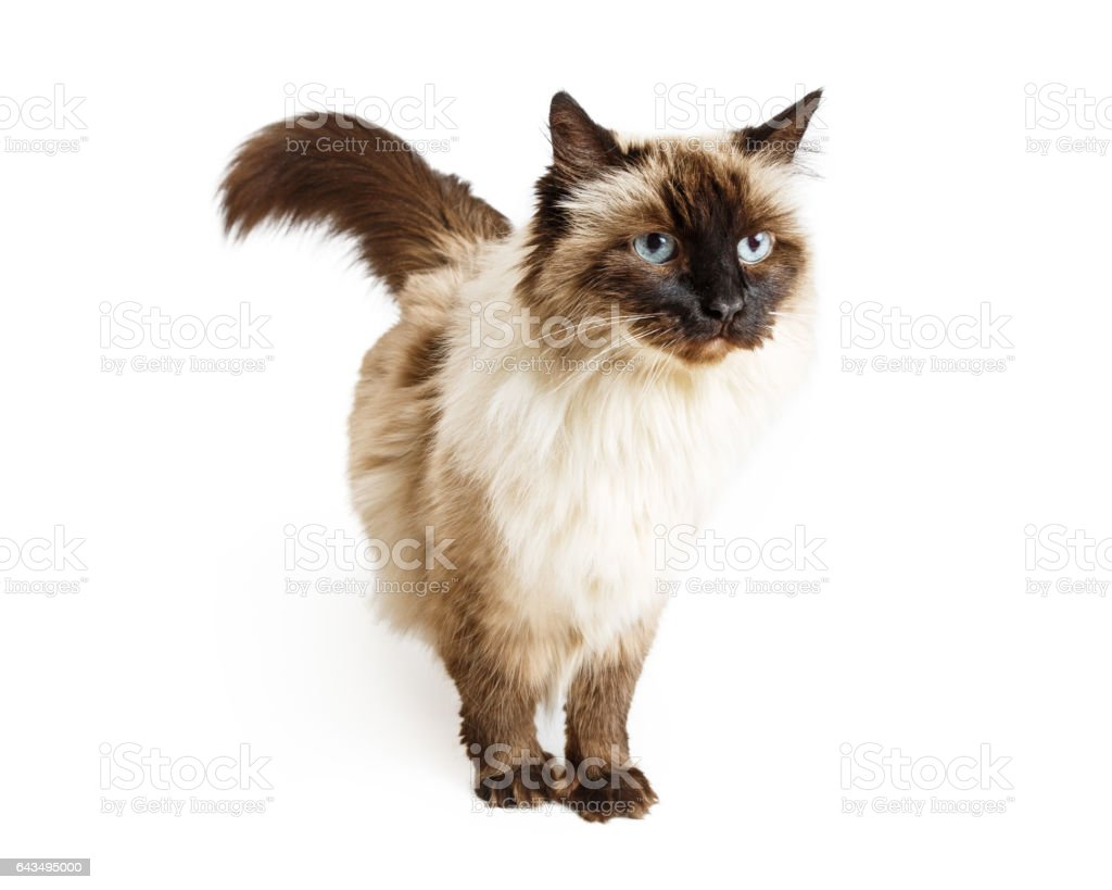 Ragdoll Cat Over White - foto de acervo