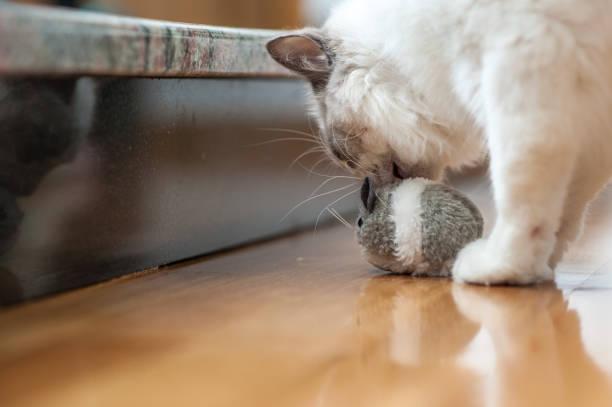 Ragdoll cat playing with toy picture id691095132?b=1&k=6&m=691095132&s=612x612&w=0&h=m5psug9 pu1qc9rfl3in6etn0qwzkjqfcisrnzdksq0=