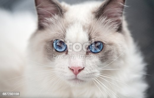 Ragdoll Cat Looking at Camera