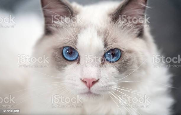 Ragdoll cat ragdoll cat looking at camera picture id687293158?b=1&k=6&m=687293158&s=612x612&h=2nzz85yay3z1nr6urncvefpuuf3k6ksyipt07o455aq=
