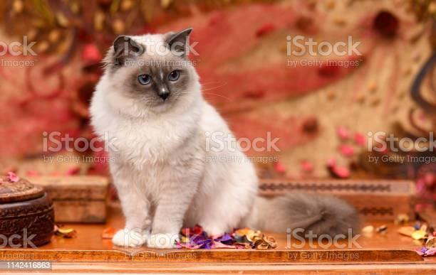 Ragdoll cat sitting on a table picture id1142416863?b=1&k=6&m=1142416863&s=612x612&h=toly6qszgveu781hqn bnono8 vucyn83i3ahskqcv4=