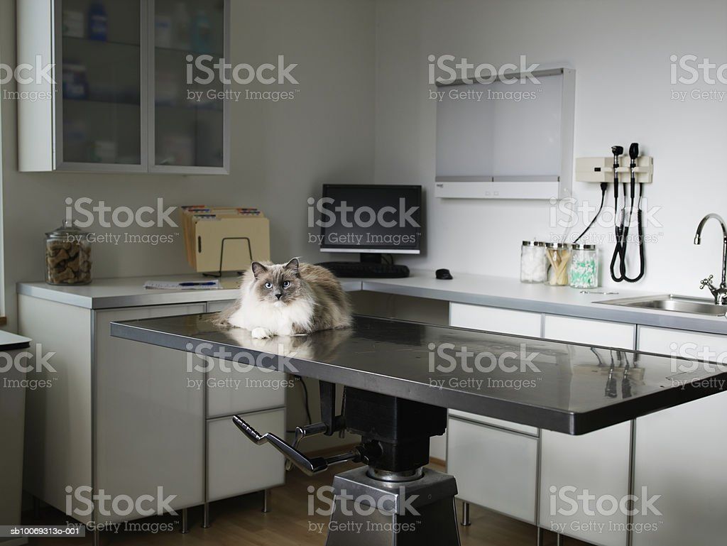 Ragdoll cat sitting on veterinarian exam table foto de stock libre de derechos